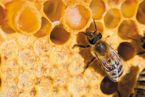 ژل رویال عسل طبیعی